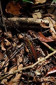 Striped Forest Whiptail - Crique des cascades French Guiana