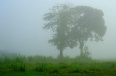 Mango and almond in the mist - French Guiana