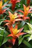 Bromeliads in a garden