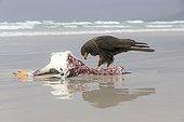 Striated Caracara eating a Penguin-Falklands Saunders Island