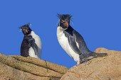 Southern Rockhopper penguins - Falklands Saunders Island