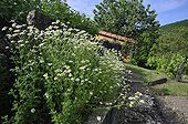 Roman chamomile in bloom bordering a garden path - France