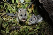 Fat Dormouse and young eating Hornbeam samaras  - France