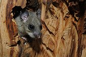 Fat Dormouse in its nest in a hollow tree - France