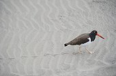 American Oystercatcher walking on sand - Argentina