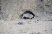 Pichi armadillo at the entrance to its burrow - Argentina
