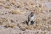 Ground squirrel - Central Kalahari National Park  Botswana
