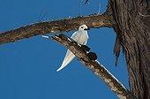 Common white-tern on a branch - Denis Island Seychelles