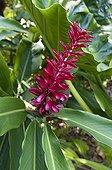 Tropical Ginger flower - Fregate Island Seychelles