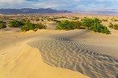 Mesquite Flat Sand Dunes - Death Valley NP California  ; Honey Mesquite (Prosopis glandulosa torreyana)