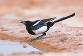 Black-billed Magpie to the water - Saragossa Aragon Spain