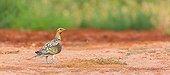 Pin-tailed Sandgrouse - Saragossa Aragon Spain