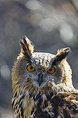 Portrait of Eurasian Eagle-owl - Cantabria Spain