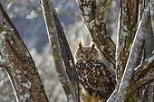 Eurasian Eagle-owl in a tree - Cantabria Spain