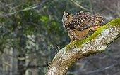 Eurasian Eagle-owl on a branch - Cantabria Spain