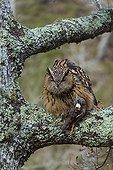 Eurasian Eagle-owl with prey on a branch - Cantabria Spain