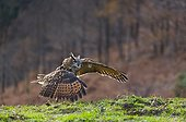 Eurasian Eagle-owl in flight near ground - Cantabria Spain