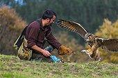 Eurasian Eagle-owl in flight and falconer - Cantabria Spain