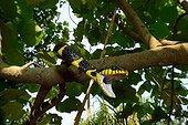 Mangrove snake on a branch - Malaysia