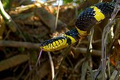 Portrait of Mangrove snake - Malaysia