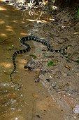 Mangrove snake crawling on the ground - Malaysia