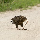 Immature Bateleur eagle catching a Frog- Kruger South Africa