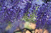 Wisteria bloom in spring in an organic garden - France