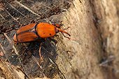 Red Palm Weevil on palm stump - France