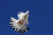 Bizet pigeon in flight against blue sky - France