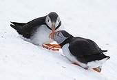 Couple of Puffin in the snow - Norway