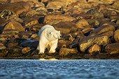 Polar Bear walking along Hudson Bay at sunrise - Canada