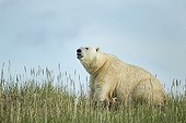Polar Bear feeding on remains of Beluga - Hudson Bay Canada