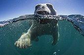 Polar Bear swimming - Hudson Bay Canada