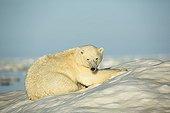 Polar Bear resting on sea ice - Hudson Bay Canada