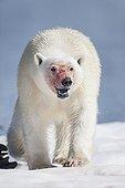 Polar Bear walking on pack ice - Hudson Bay Canada ; feeding on Walrus