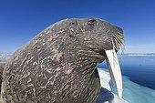 Portrait of Walrus resting on iceberg - Hudson Bay Canada