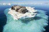Walruses resting on iceberg - Hudson Bay Canada