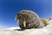 Walrus resting on iceberg - Hudson Bay Canada