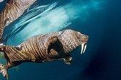 Walrus under water - Hudson Bay Canada