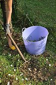 Weeding of field bindweeds in a garden