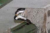 House martin feeding at nest - Wales UK