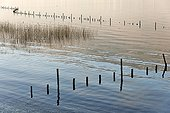Protected from Lake Bourget reed in winter - France ; Protection of reedbeds by wooden stakes allows reconquest of these areas by waterfowl