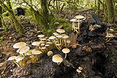 Sulphur Tuft in the undergrowth - Bugey France
