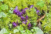 Purple Toothwort flowering wet undergrowth - Pyrenees France ; Parasitic species of alder, willow and hazel (holoparasite)