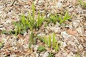 Deer fern in fallen leaves - Pyrenees France