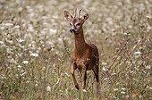 RoeDeer in a meadow in bloom - France Burgundy