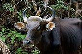 Banteng in forest - Taman Negara Malaysia  ; Species extinct in peninsular Malaysia since 1950. Reintroduced animals.