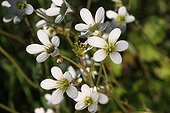 Meadow Saxifrage flowers - Alsace France