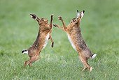 Brown Hares boxing at spring - GB