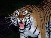 Siberian tiger - Asia